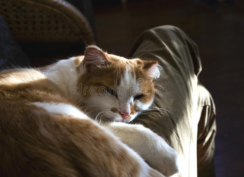Relaxed cute cat lying on the human`s legs.  stock photography
