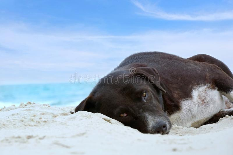 Relaxed dog, Black mixed white dog looking at camera on the sand beach with sea and blue sky as a background stock photography