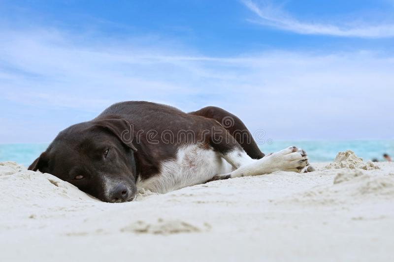 Relaxed dog, Black mixed white dog looking at camera on the sand beach with sea and blue sky as a background stock image