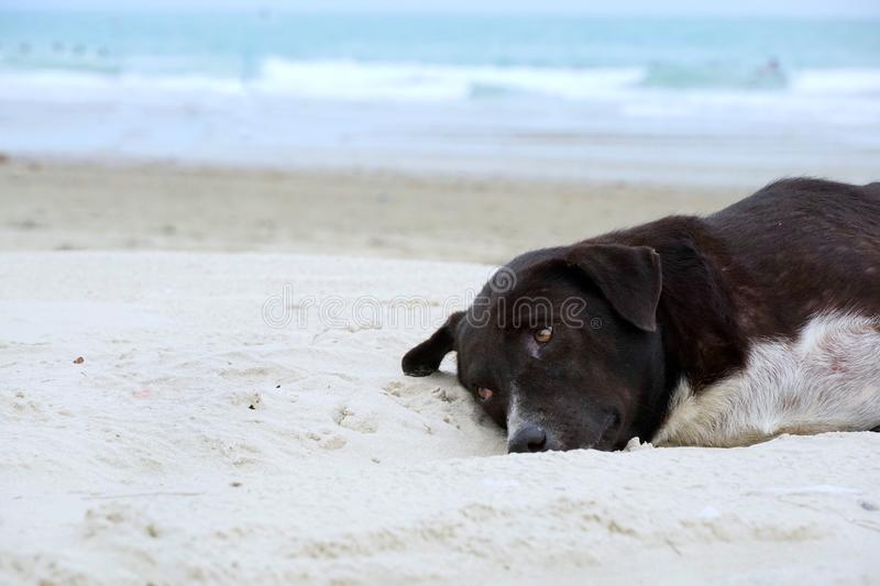 Relaxed dog, Black mixed white dog on the sand beach with sea and blue sky as a background royalty free stock photo