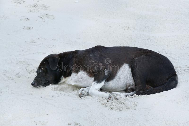 Relaxed dog, Black mixed white dog sleeping on the sand beach with sea as a background stock photo