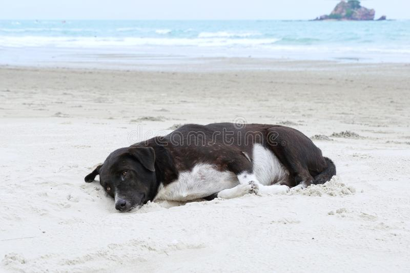 Relaxed dog, Black mixed white dog looking at camera on the sand beach with sea and blue sky as a background royalty free stock photo