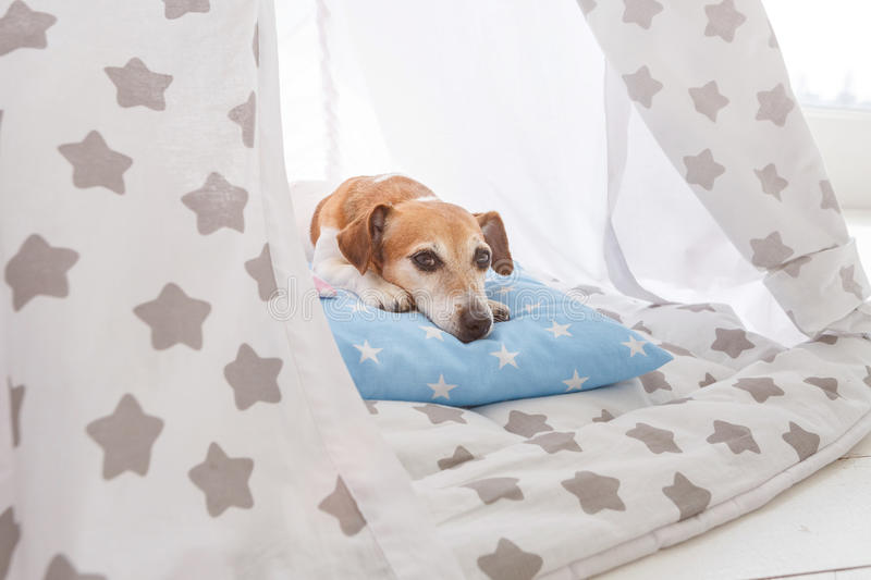 relaxed dog Jack Russell terrier lying stock photos