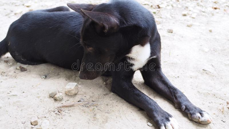 Relaxed dog on the sand beach, black and white dog royalty free stock photography