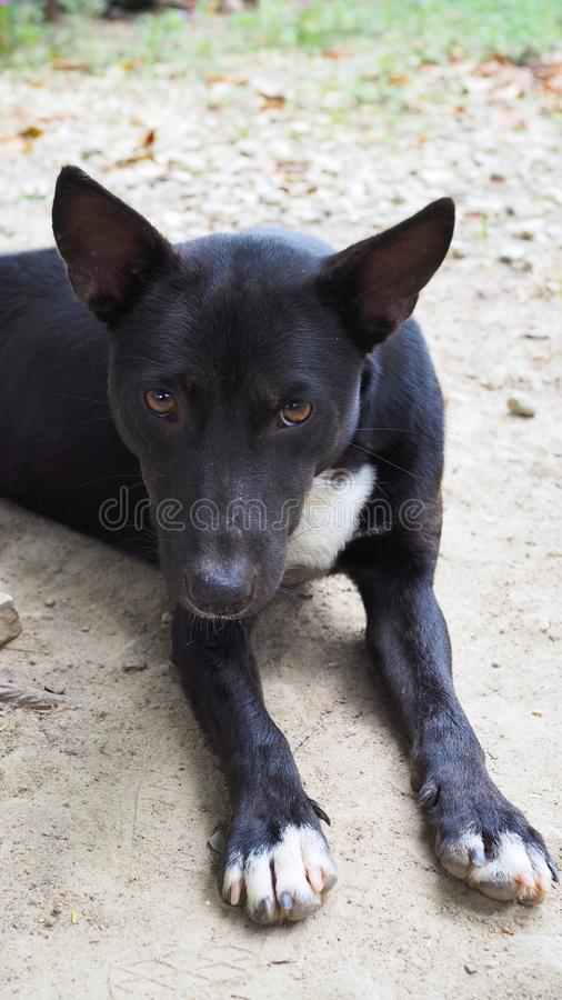 Relaxed dog on the sand beach, black and white dog, royalty free stock photos
