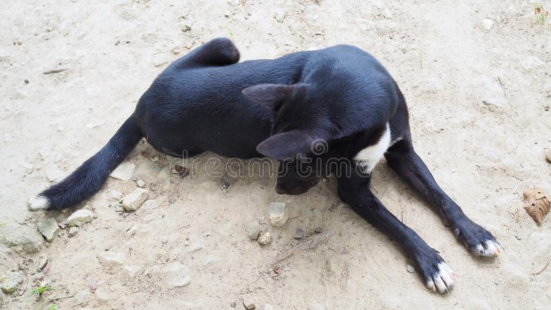Relaxed dog on the sand beach, black and white dog royalty free stock photo