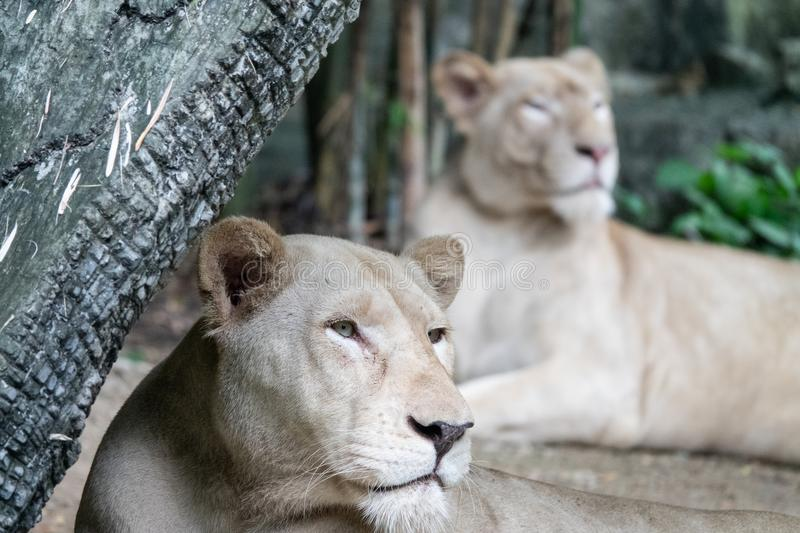Relaxed female African lion in the zoo royalty free stock photos