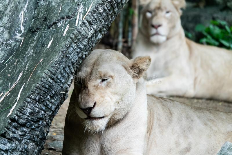 Relaxed female African lion in the zoo royalty free stock photography