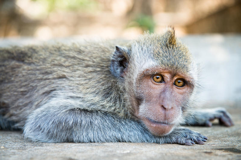 Relaxed monkey. Looking in the camera, crab-eating macaque or the long-tailed macaque (Macaca fascicularis), Bali. Selective focus on eyes stock image