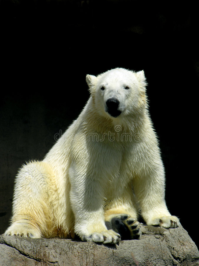Relaxed Polar Bear stock image