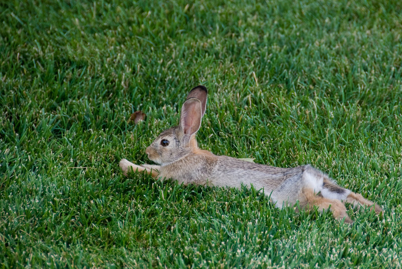 Relaxed Rabbit stock image