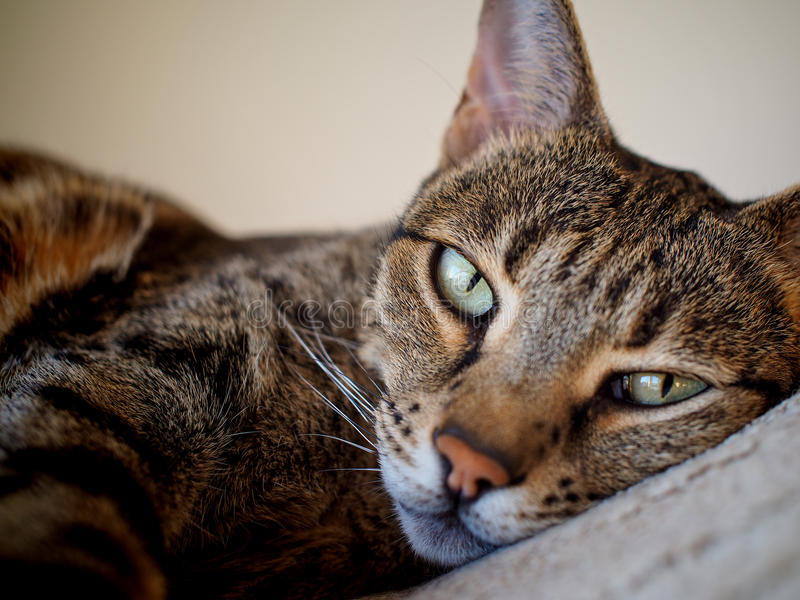 Relaxed Savannah cat on bed royalty free stock image