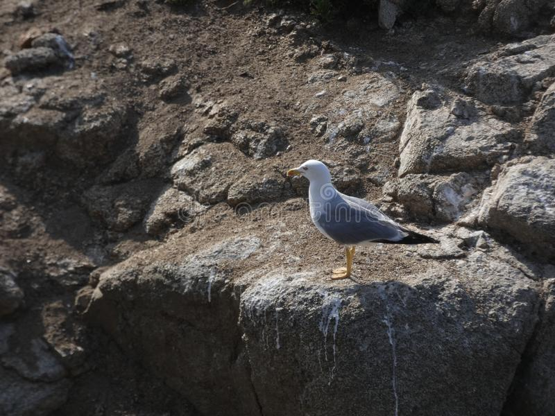 Relaxed seagull on the cliff rock of the Mediterranean coast stock photo