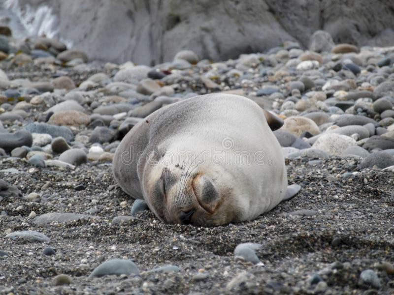 Relaxed seal sleeping on his back royalty free stock photography