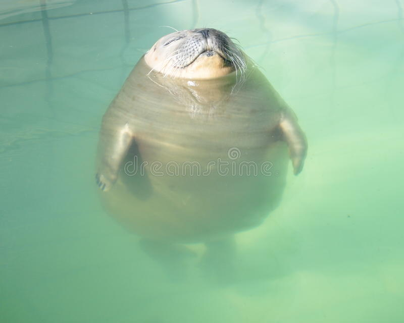 Swimming Pool Sealer : Relaxed seal in the swimming pool stock image