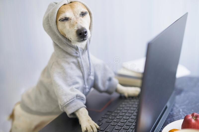 Relaxed smiling dog is working on project online. Using computer laptop. Pet wearing gray comfortable hoodie. Freelancer work from home concept. Closed eyes stock photo