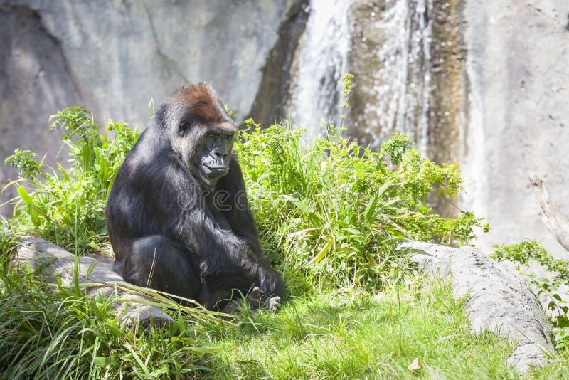 Download Relaxed Western Lowland Gorilla Stock Photo - Image of intelligent, monkey: 39507862