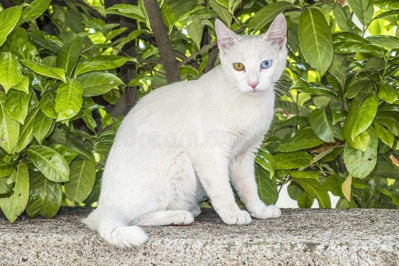 Relaxed white cat with blue and green eyes royalty free stock photo