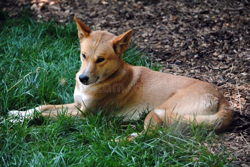 Relaxing Dingo stock photos