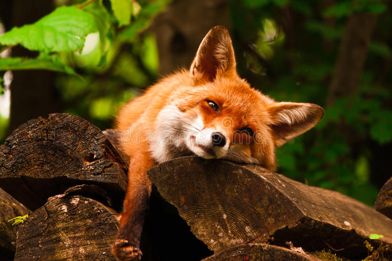 Relaxing Fox royalty free stock photo