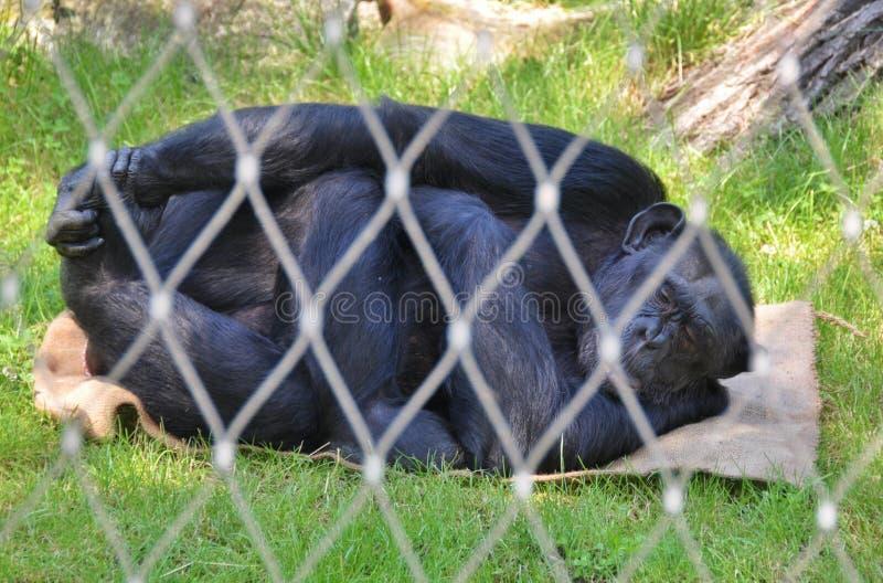 Relaxing gorilla stock photos