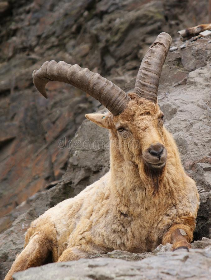Relaxing ibex stock photography