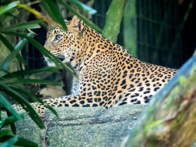 Relaxing jaguar, close-up portrait royalty free stock image