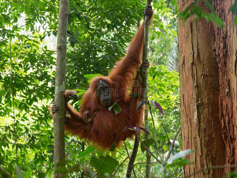 Relaxing orang utan with little baby stock images