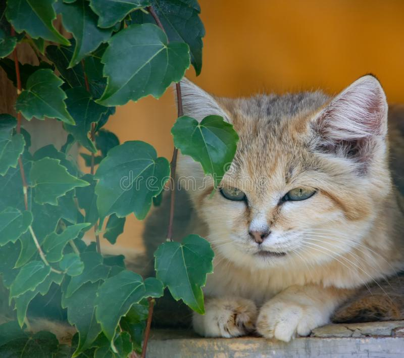 Relaxing sand cat. With green eyes stock photos