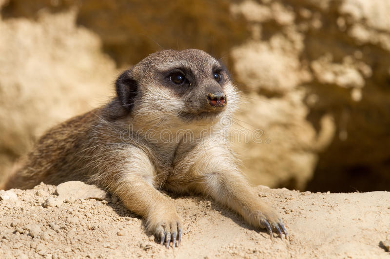 Download Relaxing in the sun stock photo. Image of small, mammal - 15180580