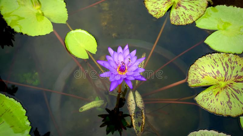 Purple Water Lily and Lily Pads in the Pond. Relaxing View of Purple Water Lily with Yellow Pollen and Lily Pads in the Pond royalty free stock photos