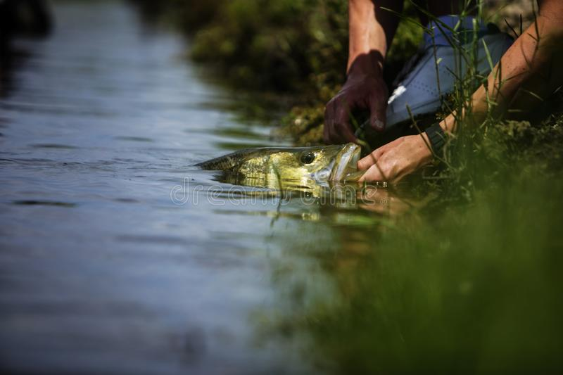 Releasing A Freshwater Snook Fish royalty free stock photography
