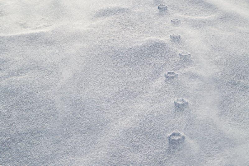 Relevo Haute de cópias da pata na neve de sopro Os fortes vento corroeram a neve fraca em torno das cópias comprimidas da pata imagens de stock royalty free