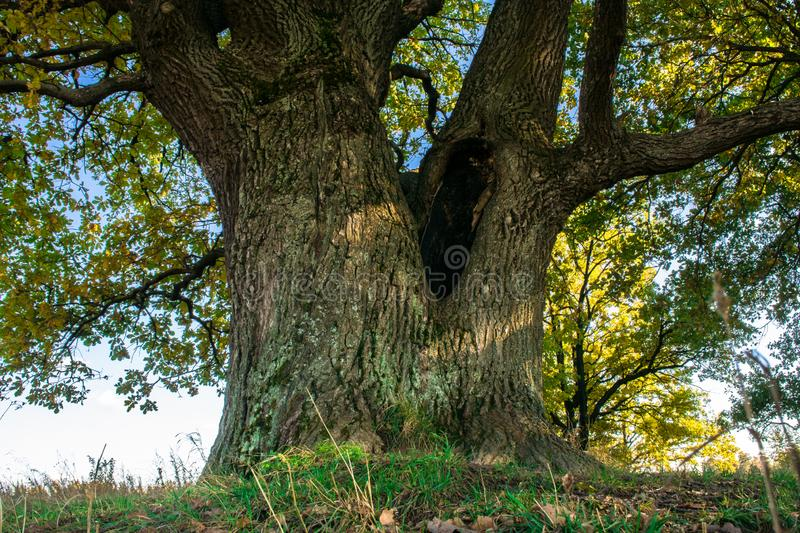 A mighty old ancient oak, standing alone on the edge of a relic oak grove.Golden autumn, lush yellow foliage. Relic oaks with lush crowns illuminated by the cold stock photography