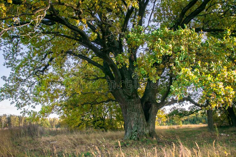 A mighty old ancient oak, standing alone on the edge of a relic oak grove.Golden autumn, lush yellow foliage. Relic oaks with lush crowns illuminated by the cold royalty free stock image