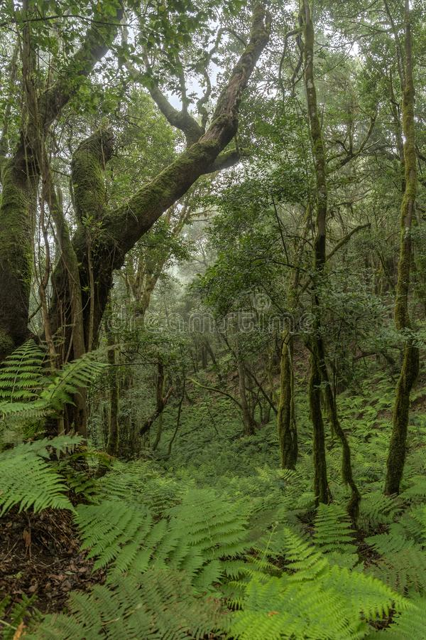 Relict forest on the slopes of the mountain range of the Garajonay National Park. Giant Laurels and Tree Heather along narrow. Winding paths. Paradise for royalty free stock images