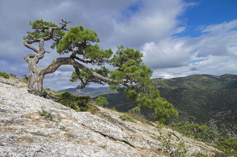 Relict pine on a mountainside. Crimea. Relic pine tree, spread-eagled on the mountainside. Crimea stock image