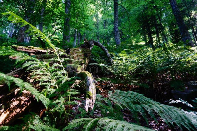Relict-Wald stockbilder