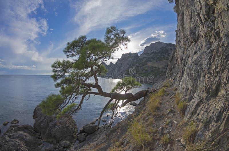 Relicten sörjer trädet på ett brant hav crimea fotografering för bildbyråer