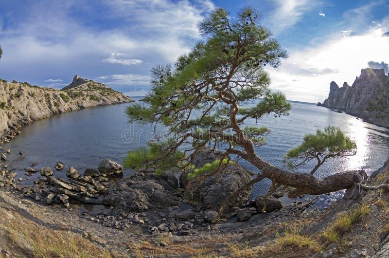 Relicten sörjer trädet på havskusten crimea arkivbild