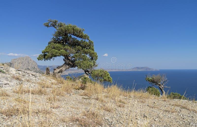 Relictenträd mot en blå molnfri himmel crimea arkivbilder
