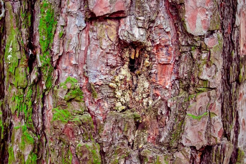 Relief texture of pine bark with green moss royalty free stock photography