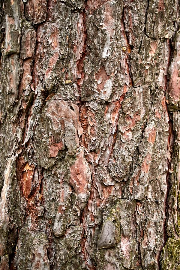 Relief texture of pine bark in the macro industry royalty free stock image