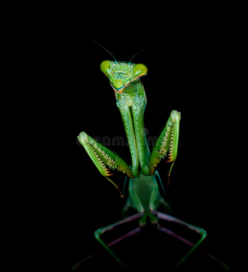 Religiosa богомола или Mantis стоковая фотография