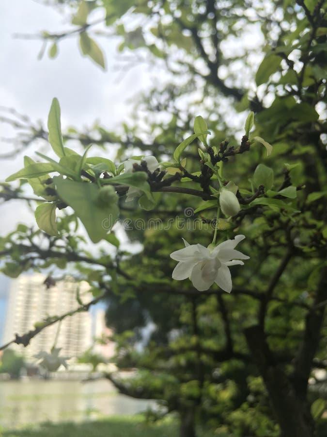 Religiosa Benth de Wrightia de las flores están floreciendo por la mañana imágenes de archivo libres de regalías