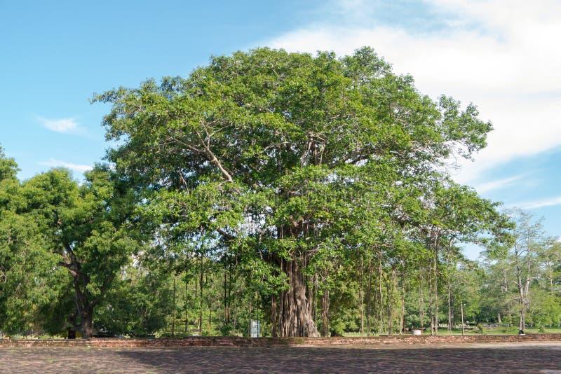Religiosa bouddhiste de ficus d'arbre de Bodhi Le Sri Lanka photos stock