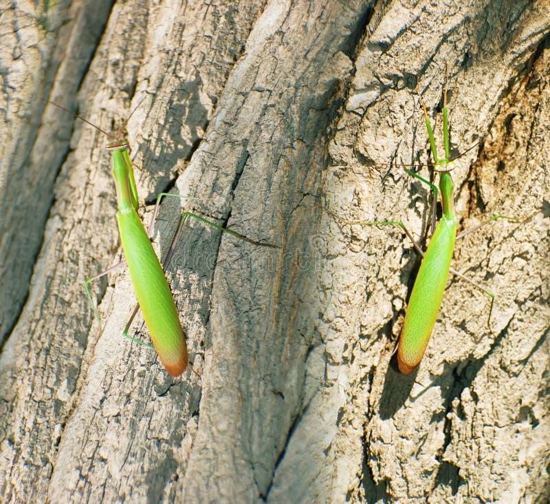Religiosa do Mantis foto de stock