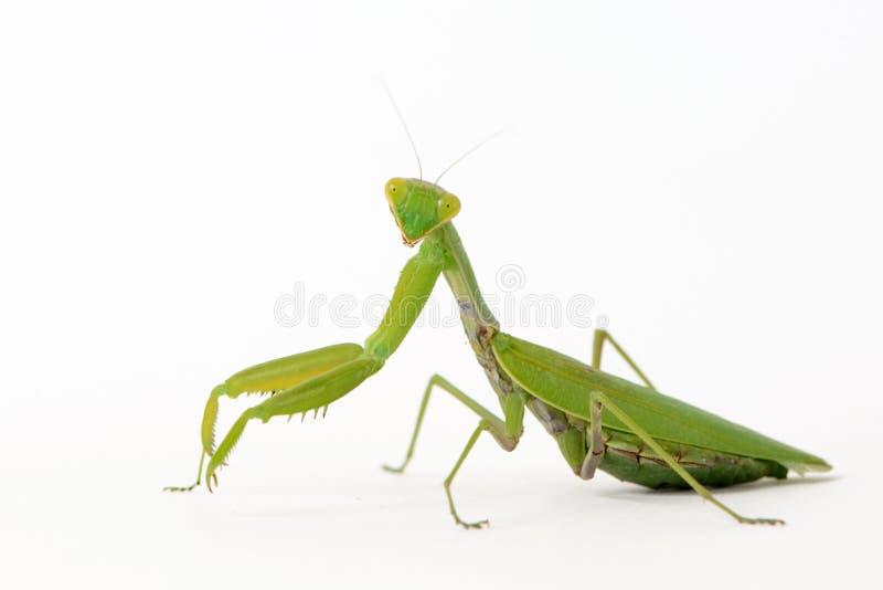 Religiosa Mantis богомола изолированное на белизне стоковые изображения