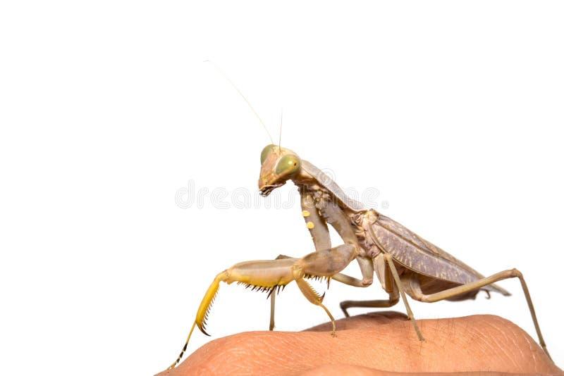 religiosa mantis моля стоковое изображение