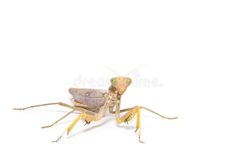 religiosa mantis моля стоковые фотографии rf